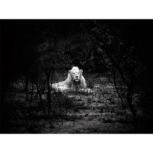 White Lions Photograph Thorny Bush Matsieng FCV Photography