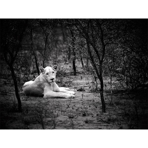 White Lions Photograph Nebu Lady's Chamber FCV Photography
