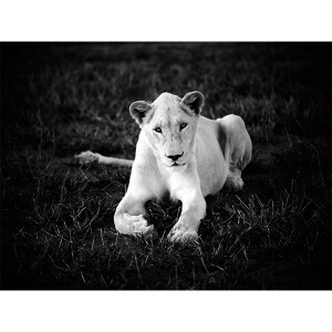 White Lions Photograph Princess Nebu