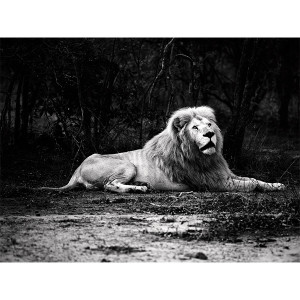 White Lions Photograph Perception