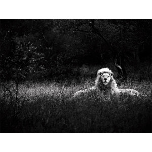 White Lions Photograph Akeru Guardians