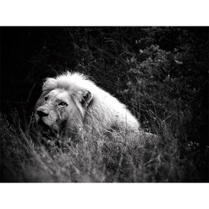 White Lions Photograph Satisfaction - Regeus  FCV Photography