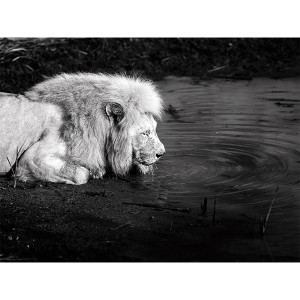 White Lions Photograph Quench