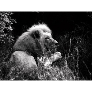 White Lions Photograph - Awareness: Letaba