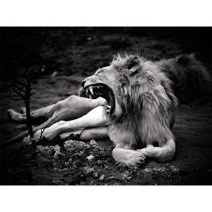 White Lion Photograph Zukhara Royal Yawn 2 FCV Photography